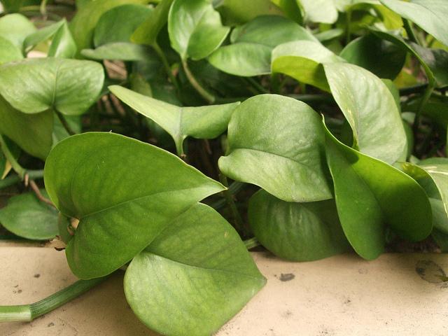 pflegeleichte zimmerpflanzen die bei ihnen zuhause die luft reinigen k nnen. Black Bedroom Furniture Sets. Home Design Ideas