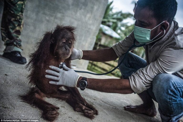 diese tragischen bilder zeigen wie palm l in allt glichen produkten den orang utans schadet. Black Bedroom Furniture Sets. Home Design Ideas